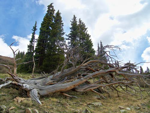 Old Ghost Tree, Selkirk Gulch