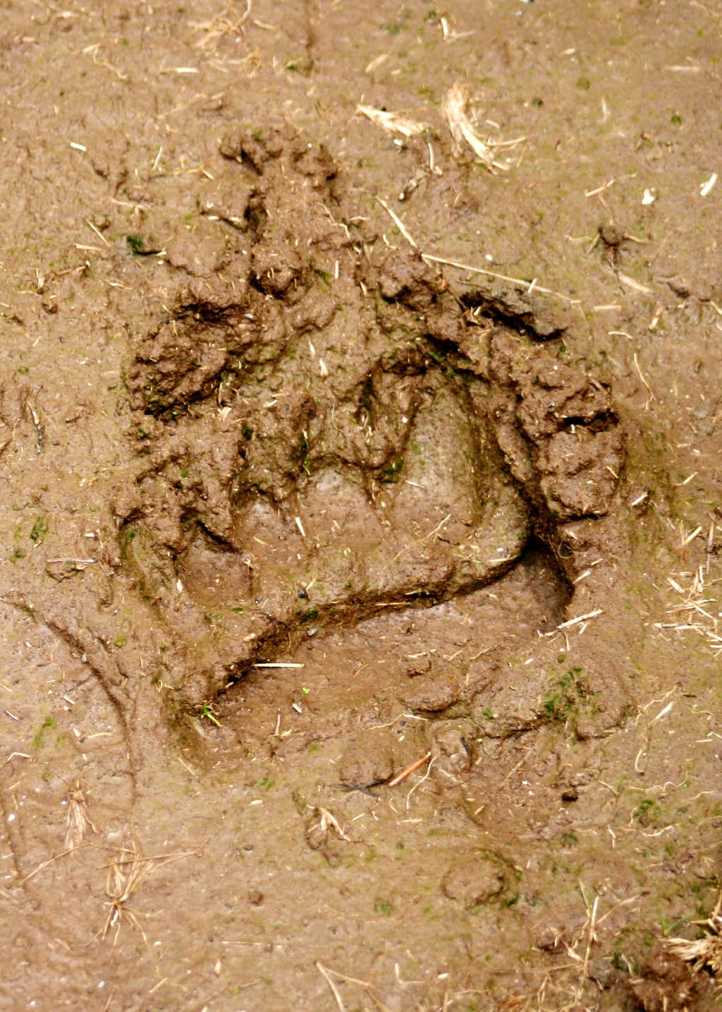 Grizzly track