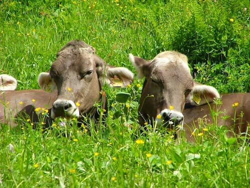 Happy cows ...