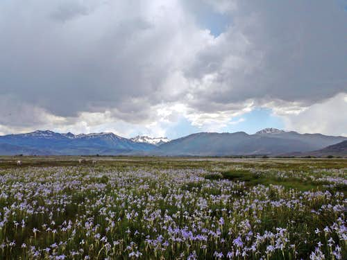 Wild iris field, Bridgeport Valley