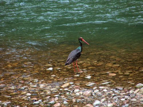 Black Stork of the Dunajec
