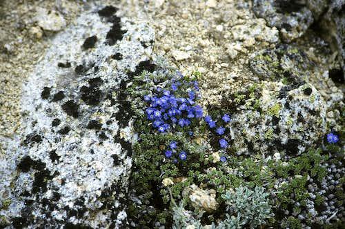 Alpine Forget-Me-Nots on Mount Bigelow