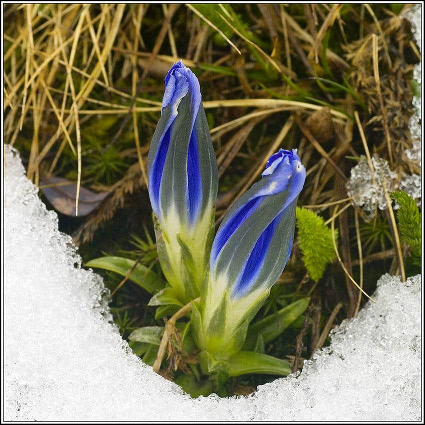 Altay Flowers