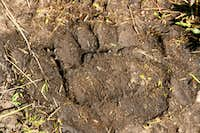Grizzly Print on the Lamar River Trail