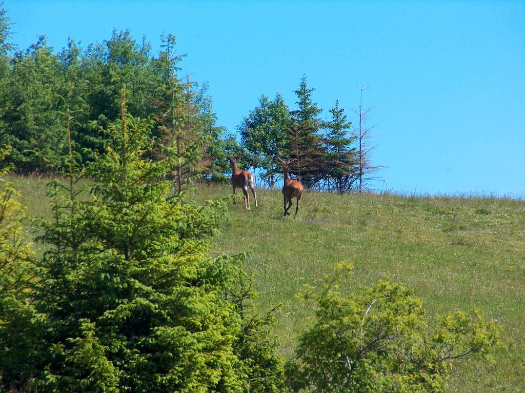Deers on Spišská Magura