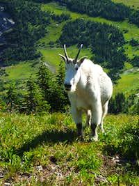 Logan Pass Goat