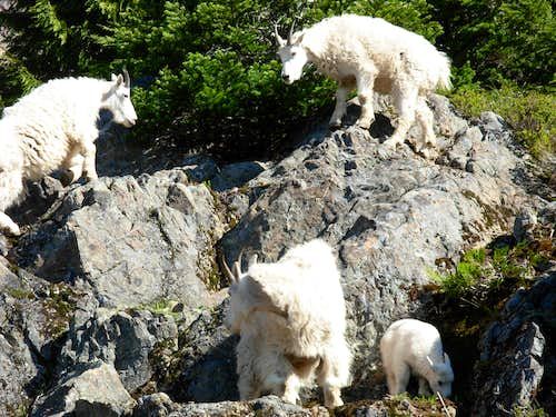 Mountain Goats On Mount Ellinor