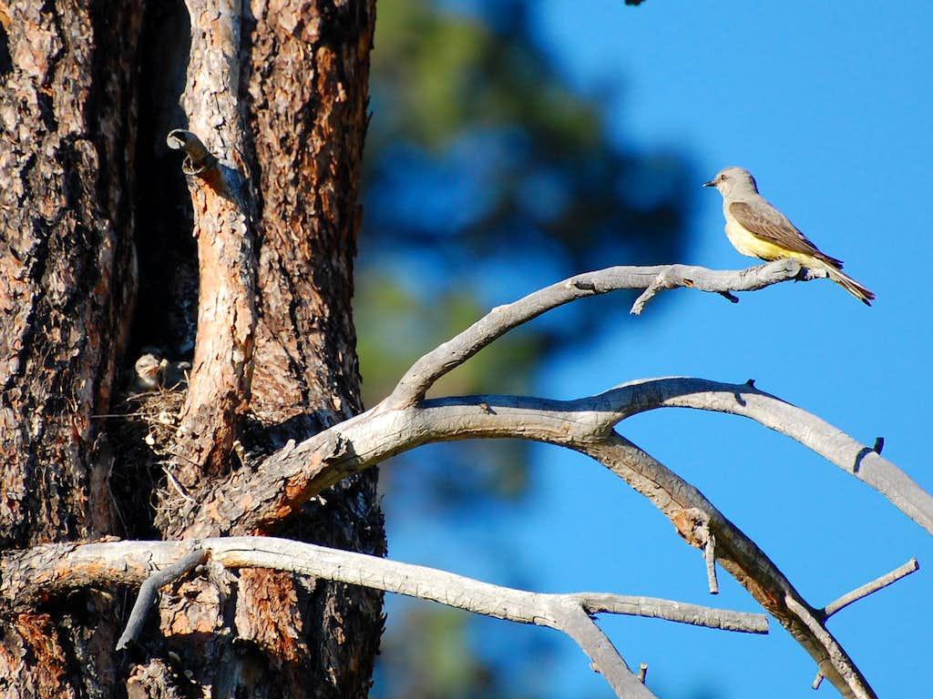 Kingbird Babies and Mother