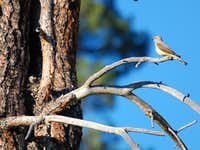 Kingbird Babies and Mother