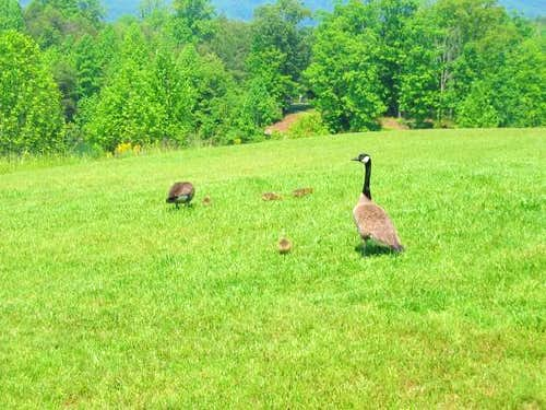 Two Canadian geese and four...