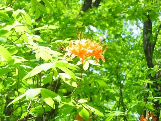 Flame azalea in bloom.