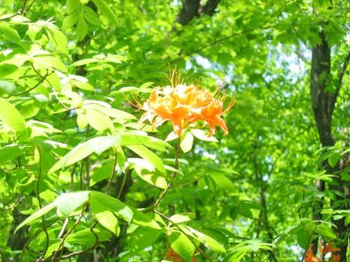 Flame azalea in bloom.
