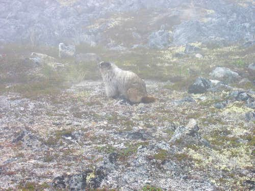Marmot above the tarn