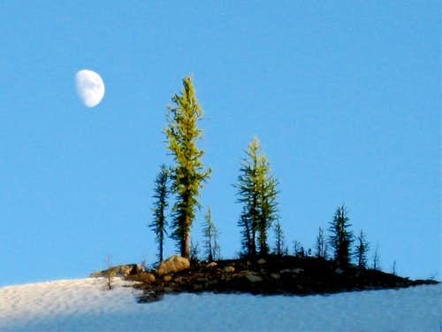 Moonrise over larches