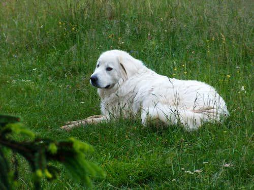 Podhale sherperd dog on Wysoki Wierch (Małe Pieniny)