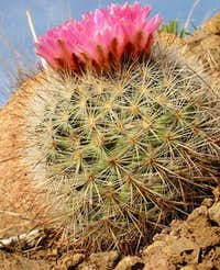 Desert Cactus in Bloom North...