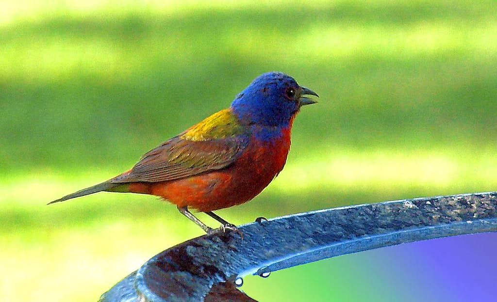 Male Painted Bunting For Sale