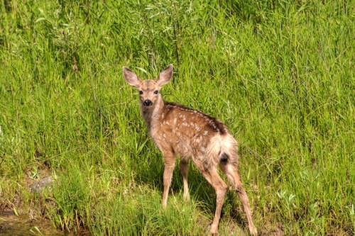 Baby Deer Near Creek