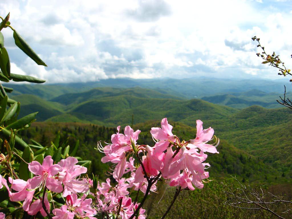 A Pink Azalea View