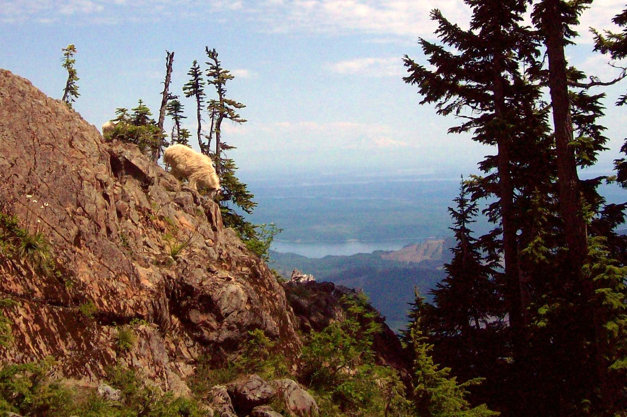 Mount Ellinor: Home of tame goats and great views