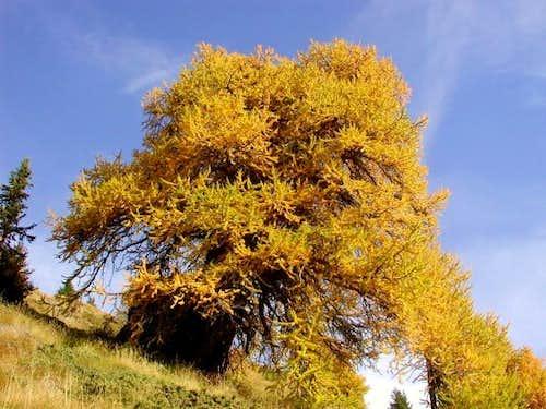 The last big golden pick pine