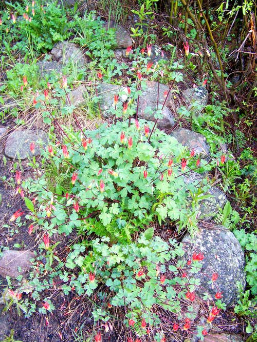 Red Columbine on the lower approach