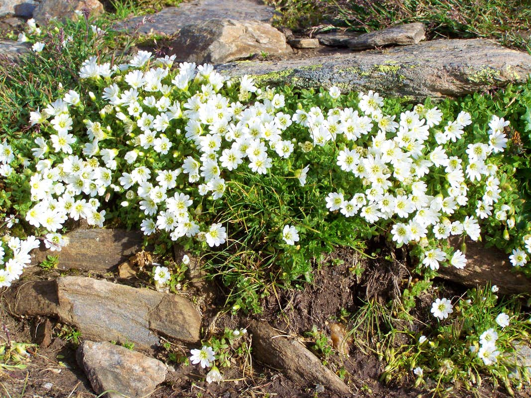Flowers in the hillside of Orgelspitze