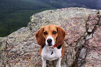 Beagle on Top
