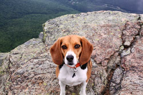 Beagle on Top