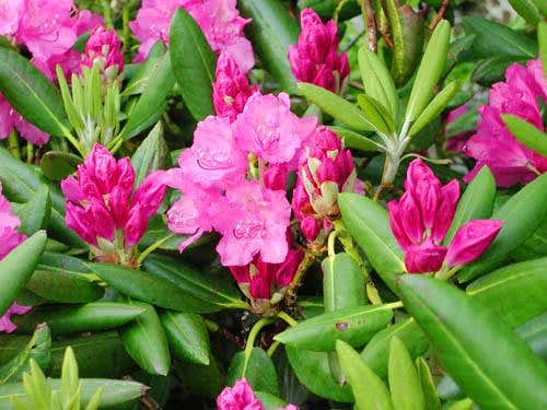 Catawba Rhododendron along...