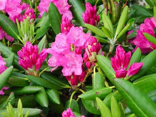 Catawba Rhododendron along...