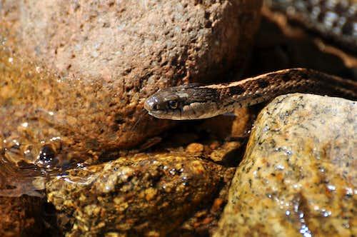 Garter Snake in Creek