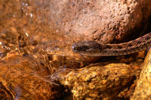 Gopher Snake Closeup