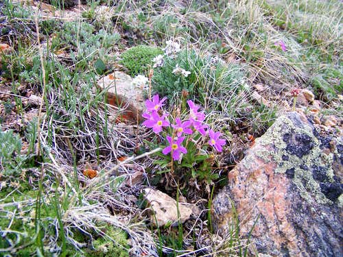 Small purple flowers on Weston Peak