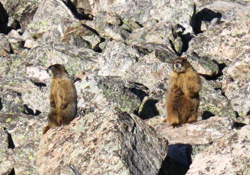 and more marmots