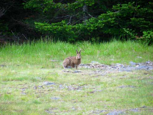 Summit Bunny
