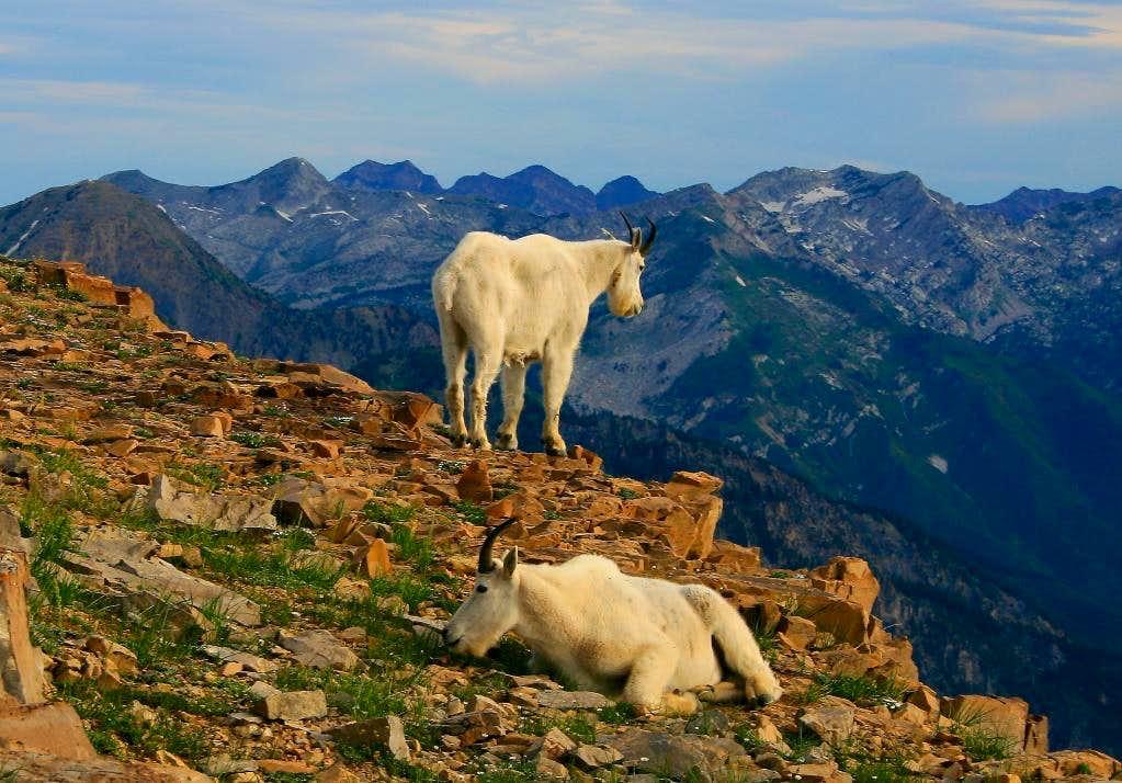 Lazy goats on Bomber Peak.