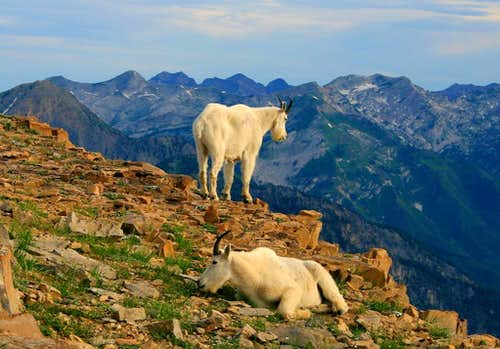 Lazy goats on Bomber Peak.