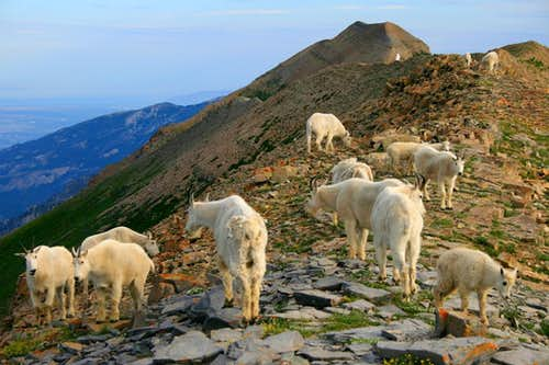 Goat herd on Bomber Peak.