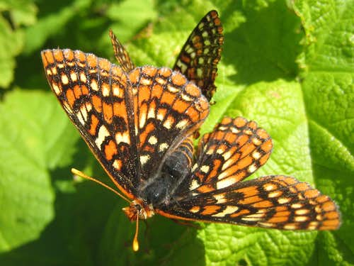 Edith\'s Checkerspot