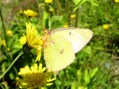 Sulphur butterfly (I think)