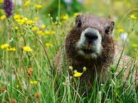 Marmot On Redcloud