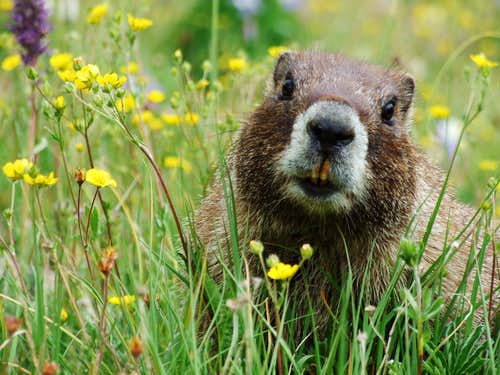Marmot On Redcloud
