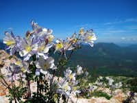 Columbines on the north slope