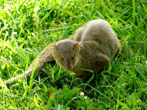 Wild Mongoose