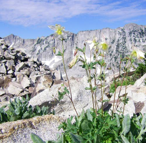Columbines on the Hogum Divide