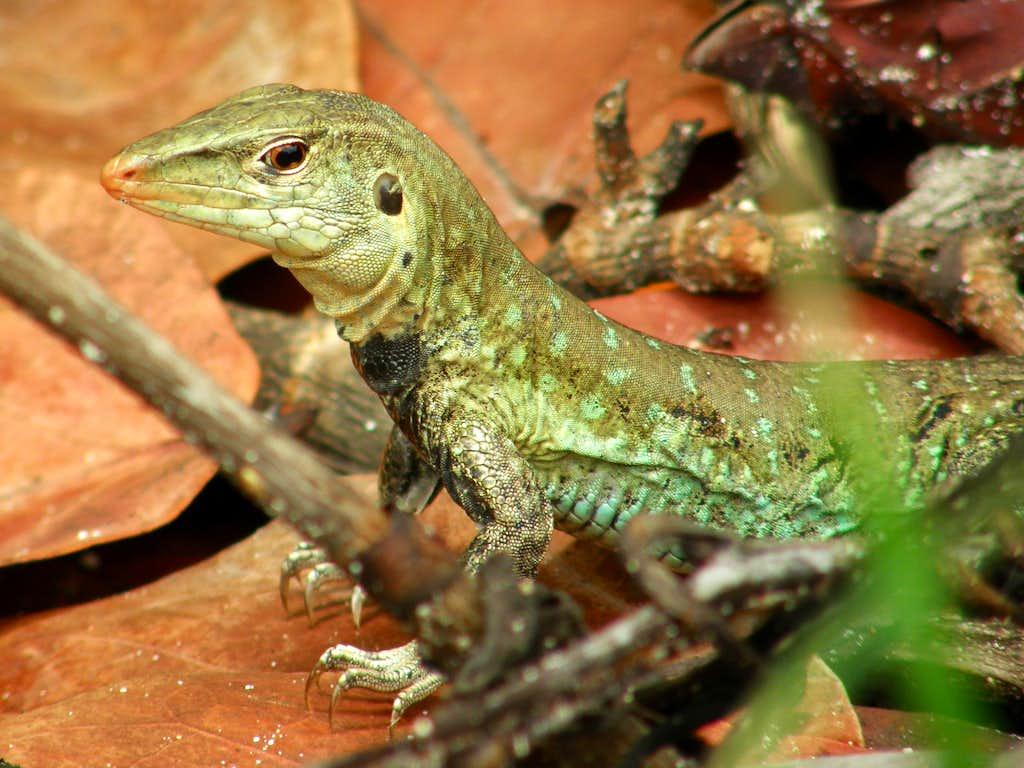 Ground Lizards
