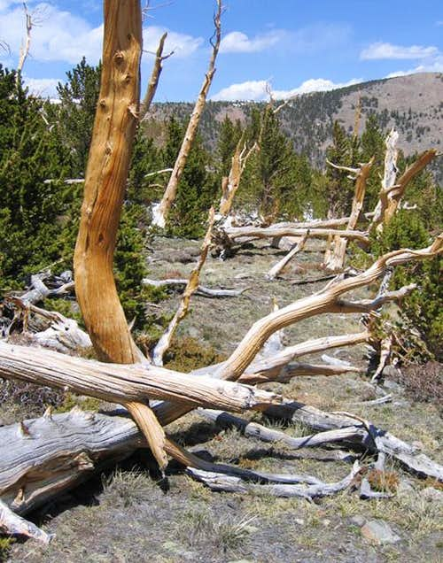 Bristlecone forest in the...