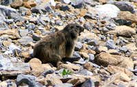 The Alpine Marmot whistling