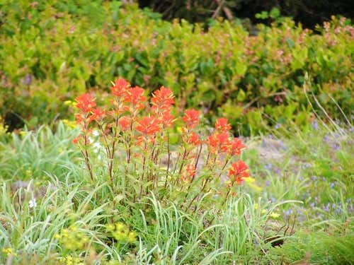 Indian paintbrush among...